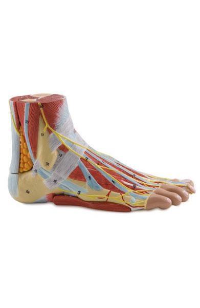 Piedica Anatomía Ligamentos Músculos y Articulaciones del Pie y ...